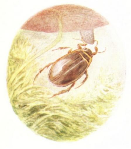 Vintage Beatrix Potter illustration of scarab beetle, from Jeremy Fisher short story for kids