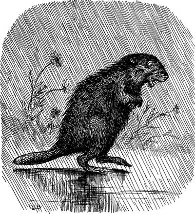 Original illustration of beaver in rain, by L. Leslie Brooke for the bedtime story Johnny Crow's Garden