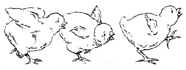 Original vintage illustration of baby chicks crying for children's short story The Little Red Hen