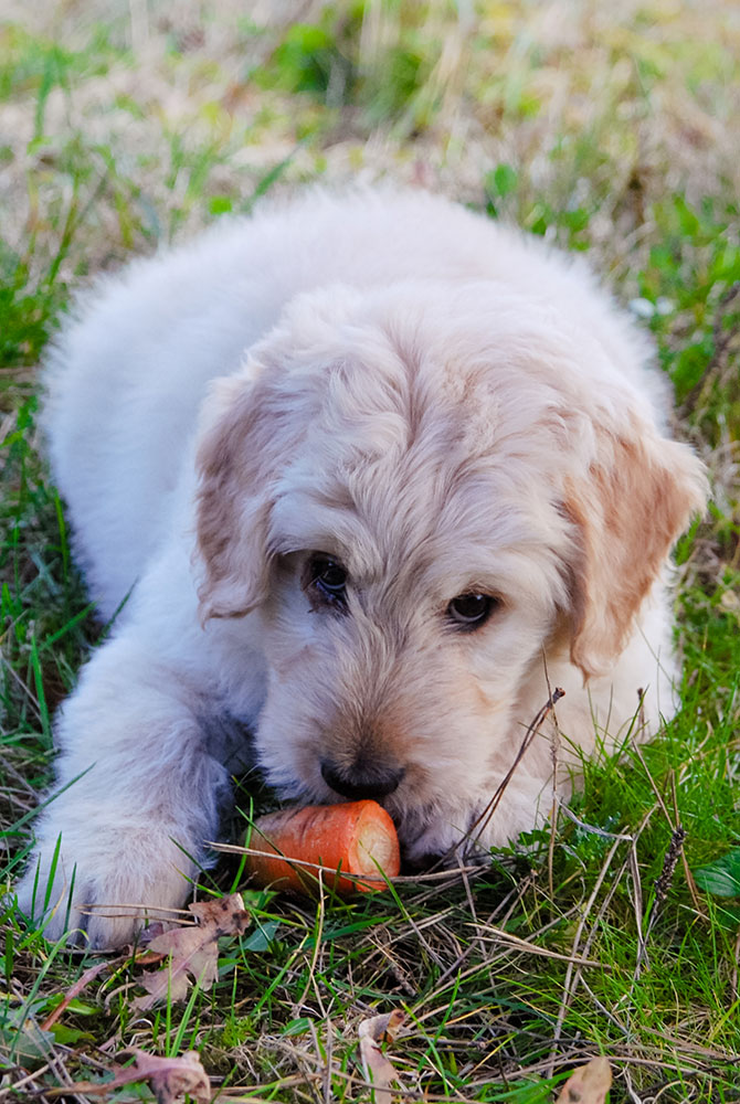 Picture of dog eating carrot for baby picture book story online - Veggies