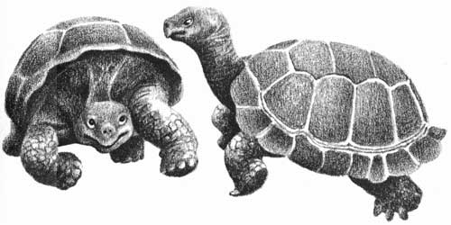Children's illustration of two turtles for story My Fathers Dragon