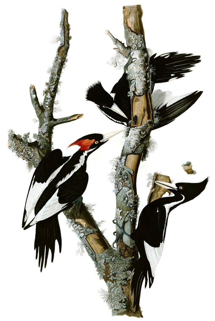 Illustration of woodpecker for kids poem Rathers